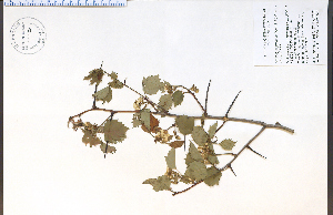 (Crataegus pruinosa - 85520HIM)  @11 [ ] CreativeCommons - Attribution Non-Commercial Share-Alike (2012) University of Guelph, Canada OAC-BIO Herbarium