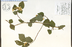 (Crataegus holmesiana - 85523HIM)  @11 [ ] CreativeCommons - Attribution Non-Commercial Share-Alike (2012) University of Guelph, Canada OAC-BIO Herbarium