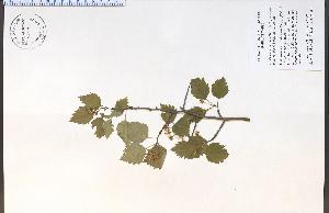 (Crataegus cognata - 85527HIM)  @11 [ ] CreativeCommons - Attribution Non-Commercial Share-Alike (2012) University of Guelph, Canada OAC-BIO Herbarium