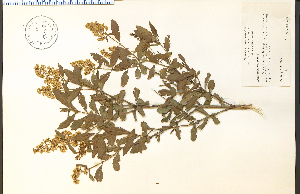 (Ligustrum vulgare - 85968HIM)  @11 [ ] CreativeCommons - Attribution Non-Commercial Share-Alike (2012) University of Guelph, Canada OAC-BIO Herbarium