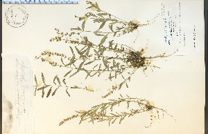 (Polygala polygama - 10876HIM)  @11 [ ] CreativeCommons - Attribution Non-Commercial Share-Alike (2012) University of Guelph, Canada OAC-BIO Herbarium