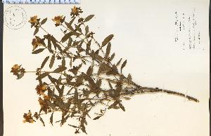(Hypericum frondosum - 11204HIM)  @11 [ ] CreativeCommons - Attribution Non-Commercial Share-Alike (2012) University of Guelph, Canada OAC-BIO Herbarium