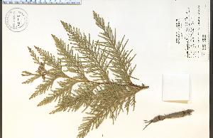 (Thuja - 90748HIM)  @11 [ ] by-nc-sa - Creative Commons - Attribution Non-Comm Share-Alike (2012) University of Guelph, Canada OAC-BIO Herbarium
