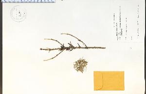 (Arceuthobium - 92700HIM)  @13 [ ] CreativeCommons - Attribution Non-Commercial Share-Alike (2012) University of Guelph, Canada OAC-BIO Herbarium