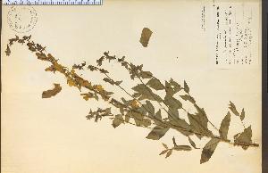 (Linaria maroccana - 14129HIM)  @11 [ ] CreativeCommons - Attribution Non-Commercial Share-Alike (2012) University of Guelph, Canada OAC-BIO Herbarium