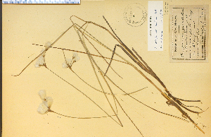 (Eriophorum tenellum - 316HIM)  @11 [ ] CreativeCommons - Attribution Non-Commercial Share-Alike (2012) University of Guelph, Canada OAC-BIO Herbarium