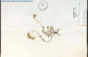 (Sedum album - 35277HIM)  @11 [ ] CreativeCommons - Attribution Non-Commercial Share-Alike (2012) University of Guelph, Canada OAC-BIO Herbarium