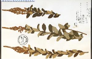 (Spiraea tomentosa - 43507HIM)  @11 [ ] by-nc-sa - Creative Commons - Attribution Non-Comm Share-Alike (2012) University of Guelph, Canada OAC-BIO Herbarium