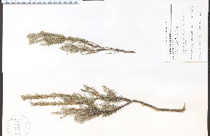 (Tetradymia - 53400aHIM)  @11 [ ] CreativeCommons - Attribution Non-Commercial Share-Alike (2012) University of Guelph, Canada OAC-BIO Herbarium