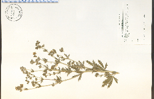 (Potentilla intermedia - 75824HIM)  @11 [ ] by-nc-sa - Creative Commons - Attribution Non-Comm Share-Alike (2012) University of Guelph, Canada OAC-BIO Herbarium
