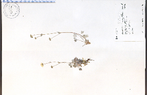 (Potentilla uniflora - 82974HIM)  @11 [ ] by-nc-sa - Creative Commons - Attribution Non-Comm Share-Alike (2012) University of Guelph, Canada OAC-BIO Herbarium
