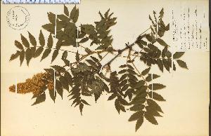 (Sorbaria - 9086HIM)  @11 [ ] CreativeCommons - Attribution Non-Commercial Share-Alike (2012) University of Guelph, Canada OAC-BIO Herbarium