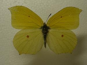 (Gonepteryx aspasia - YOB013)  @13 [ ] CreativeCommons - Attribution Non-Commercial Share-Alike (2013) Y.Okamura Chiba University