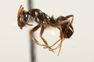 (Leptothorax canadensis - CHU05-ANT-114)  @16 [ ] Unspecified (default): All Rights Reserved  Unspecified Unspecified