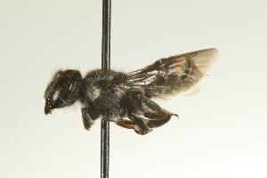 (Megachile chelostomoides - PK-MEX07- 208)  @13 [ ] CreativeCommons - Attribution Non-Commercial Share-Alike (2008) CBG Photography Group Centre for Biodiversity Genomics