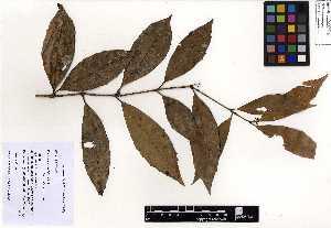 (Monimiaceae - EAP 130788)  @11 [ ] creative commons – non-commercial only (2017) EAP 130788 EAP