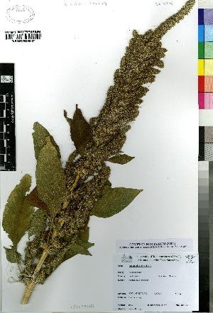 (Amaranthus hypochondriacus - BS0214)  @11 [ ] CreativeCommons - Attribution Non-Commercial Share-Alike (2012) Mamadi Theresa Sethusa University of Johannesburg