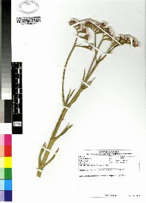 (Plumbaginaceae - DMP226)  @11 [ ] CreativeCommons - Attribution Non-Commercial Share-Alike (2012) Mamadi Theresa Sethusa University of Johannesburg