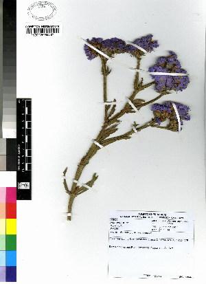(Plumbaginaceae - DMP234)  @11 [ ] CreativeCommons - Attribution Non-Commercial Share-Alike (2012) Mamadi Theresa Sethusa University of Johannesburg