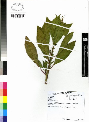 (Phytolacca octandra - DMP270)  @11 [ ] CreativeCommons - Attribution Non-Commercial Share-Alike (2012) Mamadi Theresa Sethusa University of Johannesburg