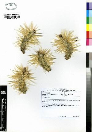 (Cylindropuntia fulgida var. mamilata - JSB-0485)  @11 [ ] CreativeCommons - Attribution Non-Commercial Share-Alike (2012) Mamadi Theresa Sethusa University of Johannesburg