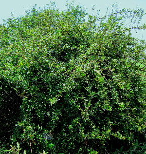 (Pyracantha angustifolia - KMS-0233)  @11 [ ] CreativeCommons - Attribution Non-Commercial Share-Alike (2012) Mamadi Theresa Sethusa University of Johannesburg