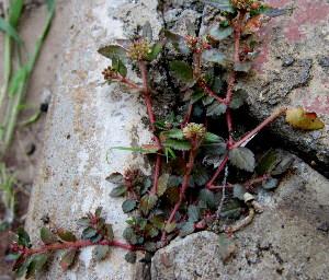 (Euphorbia hirta - KMS-0246)  @11 [ ] CreativeCommons - Attribution Non-Commercial Share-Alike (2012) Mamadi Theresa Sethusa University of Johannesburg