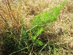 (Asparagus laricinus - KMS-0006)  @11 [ ] CreativeCommons - Attribution Non-Commercial Share-Alike (2012) Mamadi Theresa Sethusa University of Johannesburg