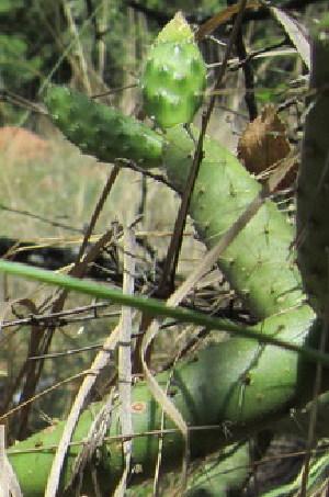 (Opuntia aurantiaca - MND-0043)  @11 [ ] CreativeCommons - Attribution Non-Commercial Share-Alike (2012) Mamadi Theresa Sethusa University of Johannesburg