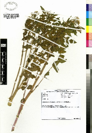 (Nasturtium microphyllum - MTJ-0057)  @11 [ ] CreativeCommons - Attribution Non-Commercial Share-Alike (2012) Mamadi Theresa Sethusa University of Johannesburg