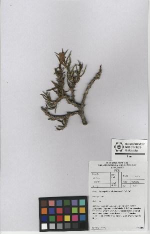 (Pachypodium bispinosum - NMMU_0132)  @11 [ ] CreativeCommons - Attribution Non-Commercial Share-Alike (2012) Mamadi Theresa Sethusa University of Johannesburg