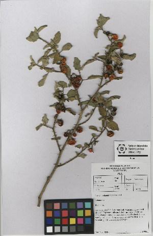 (Solanum heterantherum - NMMU_0137)  @11 [ ] CreativeCommons - Attribution Non-Commercial Share-Alike (2012) Mamadi Theresa Sethusa University of Johannesburg