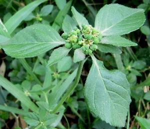 (Euphorbia geniculata - PPRI-0232)  @11 [ ] CreativeCommons - Attribution Non-Commercial Share-Alike (2012) Mamadi Theresa Sethusa University of Johannesburg