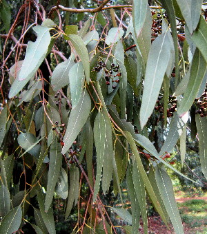 (Eucalyptus paniculata - PPRI-0288)  @11 [ ] CreativeCommons - Attribution Non-Commercial Share-Alike (2012) Mamadi Theresa Sethusa University of Johannesburg