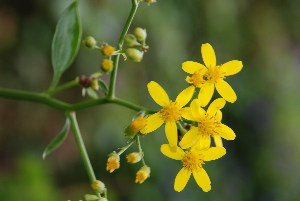 (Senecio tamoides - RMK0003)  @11 [ ] No Rights Reserved  Unspecified Unspecified