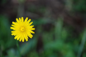 (Hypochoeris - RMK0012)  @11 [ ] No Rights Reserved  Unspecified Unspecified