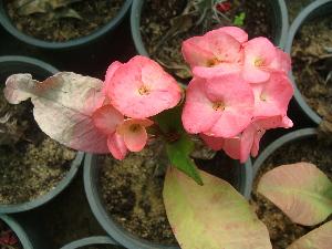(Euphorbia lophogona - Hosam00471)  @11 [ ] Copyright (2013) Dr. Hosam Elansary Alexandria University
