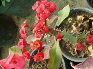 (Euphorbia rossii - Hosam00472)  @11 [ ] Copyright (2013) Dr. Hosam Elansary Alexandria University