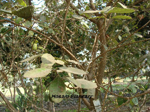 (Paulowniaceae - Hosam00166)  @11 [ ] Copyright (2011) Dr. Hosam Elansary Alexandria University