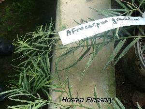 (Podocarpaceae - Hosam00258)  @11 [ ] Copyright (2013) Dr. Hosam Elansary Alexandria University