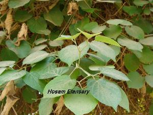 (Amphilophium - Hosam00152)  @11 [ ] Copyright (2011) Dr. Hosam Elansary Alexandria University