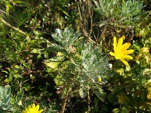 (Artemisia abrotanum - Hosam00381)  @11 [ ] Copyright (2013) Dr. Hosam Elansary Alexandria University