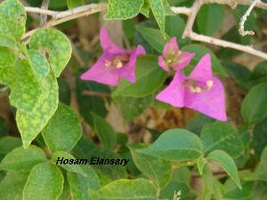 (Bougainvillea glabra - Hosam00116)  @11 [ ] Copyright (2011) Dr. Hosam Elansary Alexandria University
