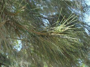 (Casuarinaceae - Hosam00048)  @11 [ ] Copyright (2010) Dr. Hosam Elansary Alexandria University