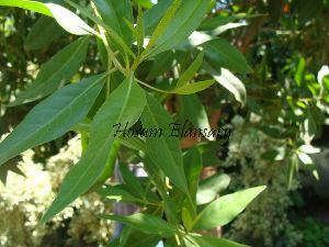 (Conocarpus - Hosam00057)  @11 [ ] Copyright (2010) Dr. Hosam Elansary Alexandria University