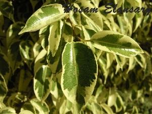 (Ficus Dejentle - Hosam00100)  @11 [ ] Copyright (2010) Dr. Hosam Elansary Alexandria University
