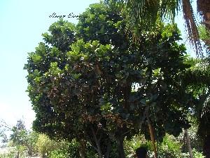 (Ficus lyrata - Hosam00021)  @11 [ ] Copyright (2010) Dr. Hosam Elansary Alexandria University