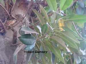 (Ficus macrophylla - Hosam00150)  @11 [ ] Copyright (2011) Dr. Hosam Elansary Alexandria University