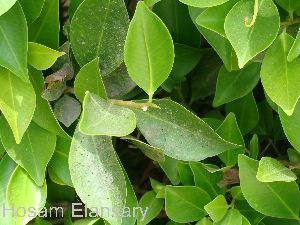 (Ficus retusa - Hosam00034)  @11 [ ] Copyright (2010) Dr. Hosam Elansary Alexandria University
