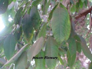 (Ficus thonningii - Hosam00145)  @11 [ ] Copyright (2011) Dr. Hosam Elansary Alexandria University